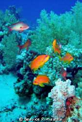 Anthias in blue water by Beatrice Primatesta