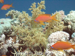 Anthias natural light and magic filter by Keith Jackson