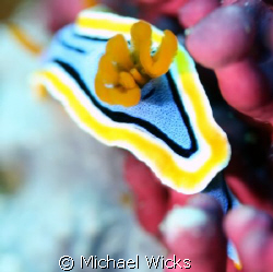 Nudibranch by Michael Wicks