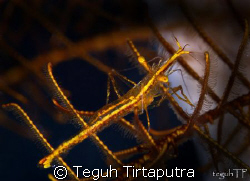 Transparent yellow hydroid shrimp....really tiny, was hid... by Teguh Tirtaputra