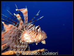 LionFish at Ras Mohammed Sharm el Sheikh Canon Digital I... by Riccardo Colaiori