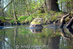 Otter on the prowl in a stream in Germany.  by Andy Hamnett