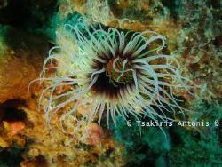 A kind of Underwater Anemone.. I Love her Colors.. :-) by Antonis Tsakiris