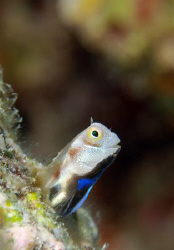 Blue belly blenny in courting colours. by Dray Van Beeck