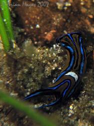 Leech Headshield Slug (Chelidonura hirundinina)<><><>Cano... by Brian Mayes