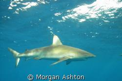 Galapagos shark cruising off of Hawaii's North Shore. Tak... by Morgan Ashton