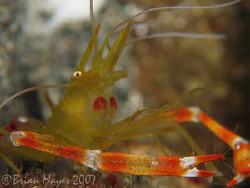 Golden Coral Shrimp (Stenopus hispidus)<><><>Canon G7, In... by Brian Mayes
