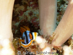 Little Nudi in Between soft Corals. Taken at Mabul Island... by Adrian Schokman