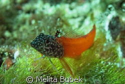 threefin red blenny Tripterygion melanurus/ c5060wz / no ... by Melita Bubek