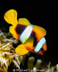 Sabae clownfish: Nikonos V, 28mm lens, SB 105 by Michael Canzoniero