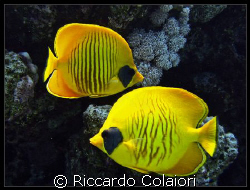 A couple of Yellow! The Temple Reef - Sharm el Sheikh Can... by Riccardo Colaiori