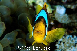 Fishs - Amphiprion bicinctus by Vito Lorusso