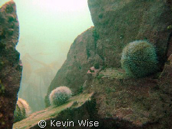 the farne islands, blue caps dive by Kevin Wise
