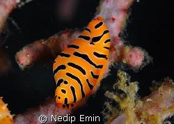 Tiger Cowrie, Macro, Andaman Sea, Diving by Nedip Emin