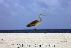 Airone 2 by Fabio Peracchia