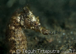 Found this common sea horse swimming around the bottom, a... by Teguh Tirtaputra