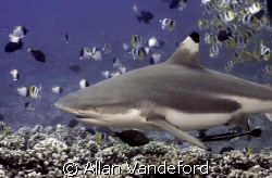 Black Tipped Reef Shark encounted at Tapu divesite off Bo... by Allan Vandeford