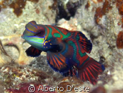 Mandarin Fish by Alberto D'este