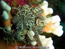 A Basket Star on some Noble Coral taken at Gasmic reef in... by Anthony Wooldridge