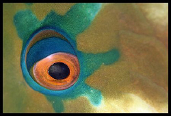 Rusty parrotfish, 105 mm / Wadi Lahmi by Dejan Sarman