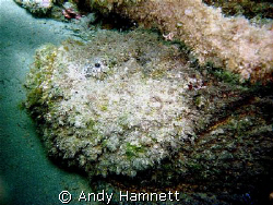 Big Stonefish by Andy Hamnett