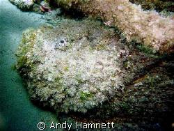 Big Stonefish by Andy Hamnett