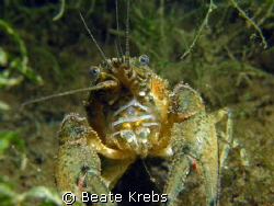 american crayfish , they like to play with the camera, ca... by Beate Krebs