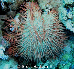 Crown of thorns star fish..... The coral menace of the oc... by Brett Hadden