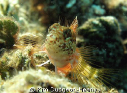 Saddled Blenny. Posing nicely. Taken while free-diving i... by Kim Dudgeon-Heany