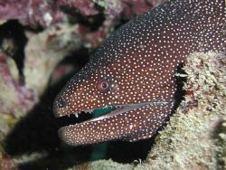 Spotted Eel, Maui by Mitch Bowers