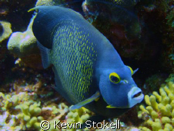 French Angel Fish in Bullenbaai, south coast of Curacao by Kevin Stokell