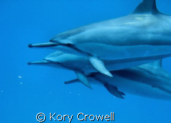 I was snorkeling with my wife, and these three Spinner Do... by Kory Crowell