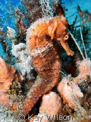 Long Snout Sea Horse - Male by Kay Wilson