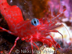 Shrimp close up taken on a night dive. by Nikki Van Veelen