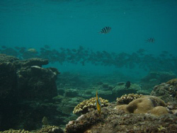 it was funny watching theese fish swimming along the reef... by Trevor Byett