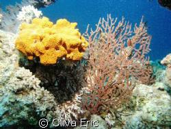 Corail jaune by Oliva Eric