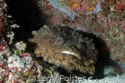 Toad fish in the cave walls of Spooky Channel Roatan, low... by Larry Polster