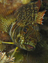 Close up of Variable Triplefin (Forsterygion varium)<><><... by Brian Mayes