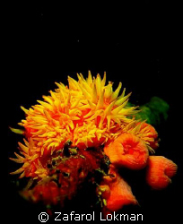 A flower for you....!!Taken with Canon S80 with Inon S200... by Zafarol Lokman