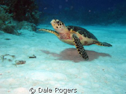 Tripod - nice little Hawksbill Turtle.  Lost one of his l... by Dale Rogers