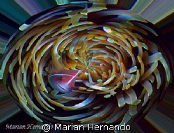 Pink anemone in whirl pool.  Inspired by strong current e... by Marian Hernando