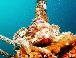 Can u Spot me.... Found this Scorpion Fish Nestled Relaxi... by Adrian Schokman