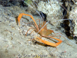 Crayfish hidden in a cave. Is showing his best pose! by Stefan Heer