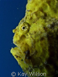 Frogfish by Kay Wilson