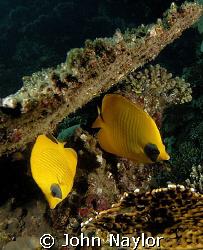 masked lemon butterfly fish. by John Naylor