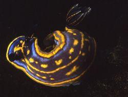 A nudibranch (Hypselodoris cantabrica), shot in Baleal, P... by Joao Pedro Tojal Loia Soares Silva