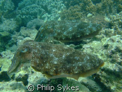 Cuttlefish pairing off by Philip Sykes