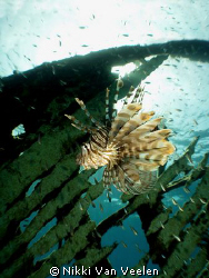 Lionfish sunburst taken on an unknown wreck in Sinai. by Nikki Van Veelen