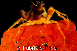 THE CRAB IN RED. by Fabrizio Frixa