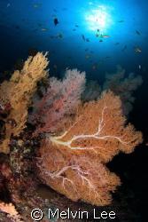 Seafan reef by Melvin Lee